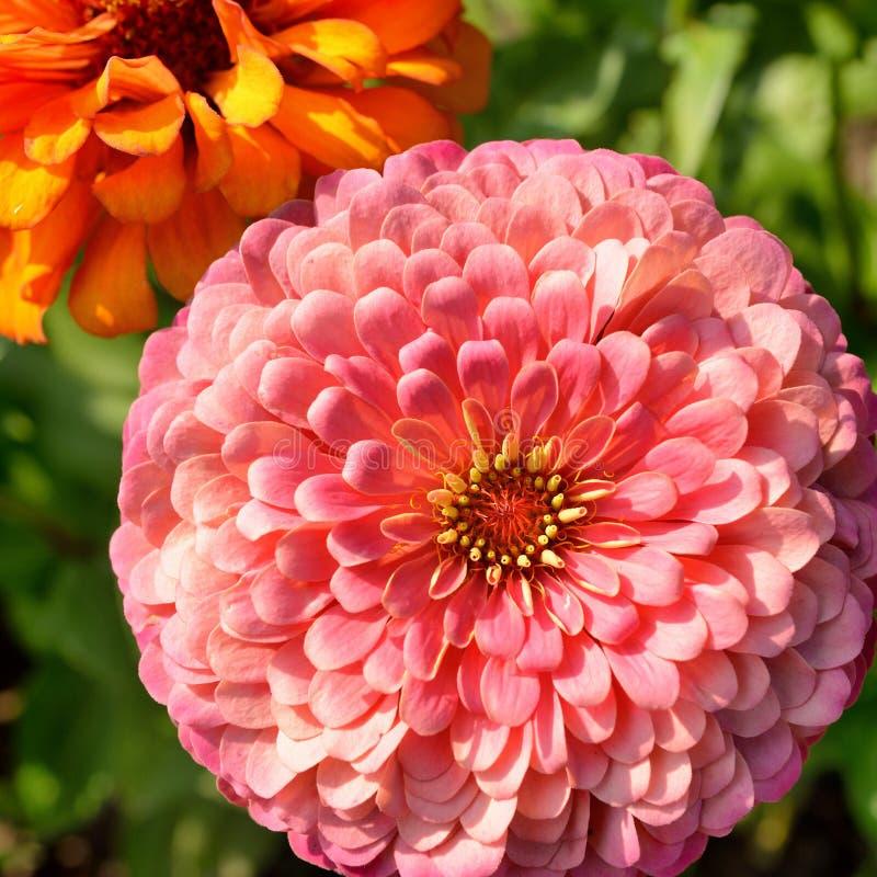 Kwiaty cynie w ogródzie obrazy royalty free