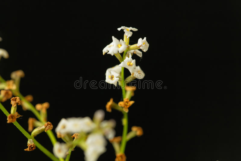 Kwiaty cytryny verbena Aloysia citrodora obrazy stock