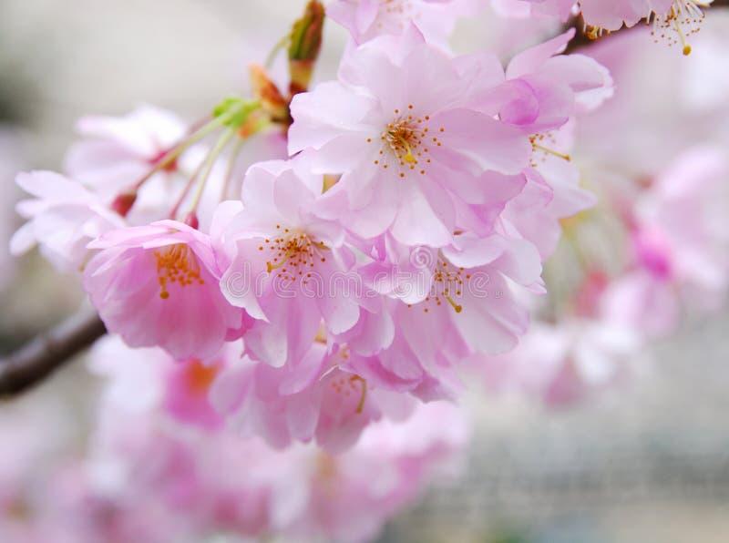 kwiaty czereśniowego Sakura obrazy stock