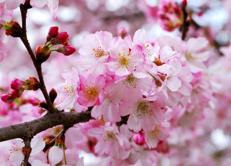 kwiaty czereśniowego Sakura zdjęcia stock