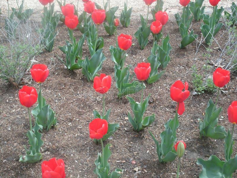 kwiaty czerwoną wiosny obraz royalty free