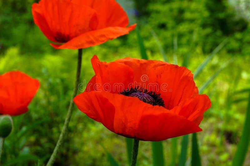 Kwiaty czerwony maczek na tle zielona trawa obraz royalty free