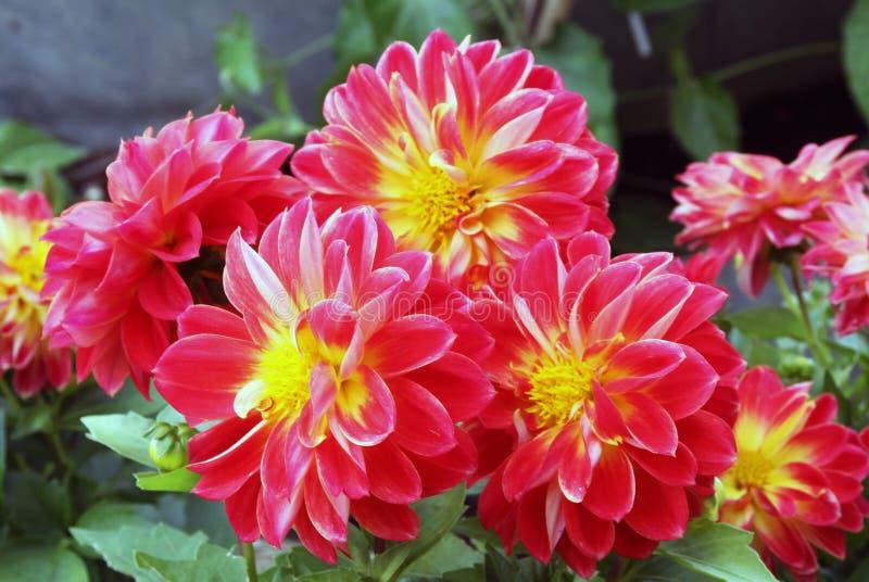 Kwiaty dalie w ognistym czerwonym kolorze żółtym barwią zdjęcia royalty free