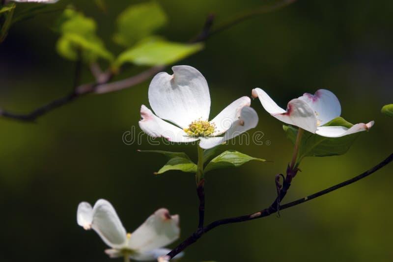 kwiaty derenia zdjęcie royalty free