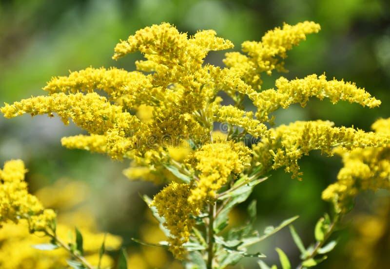- kwiaty do żółtego zdjęcia stock