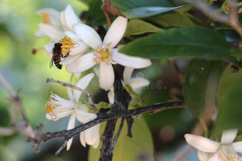 kwiaty drzewa pomarańczy fotografia stock