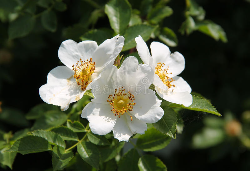 Kwiaty eglantine obraz stock