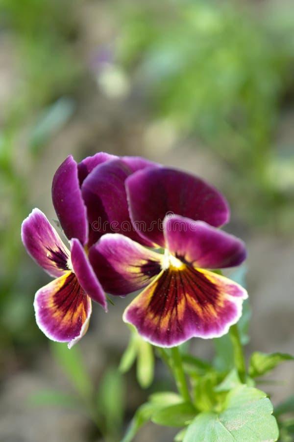 Kwiaty Fiołkowi zdjęcia royalty free