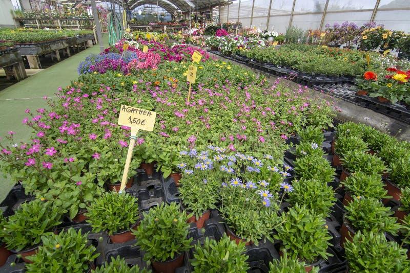 Kwiaty i ziele w małych garnkach wśrodku szklarni obrazy stock