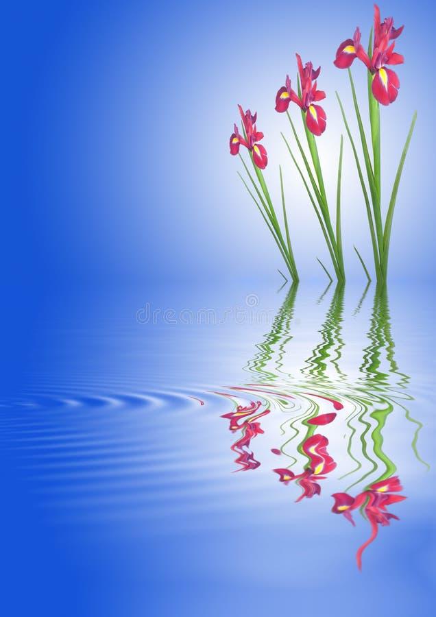 kwiaty iris czerwień ilustracji
