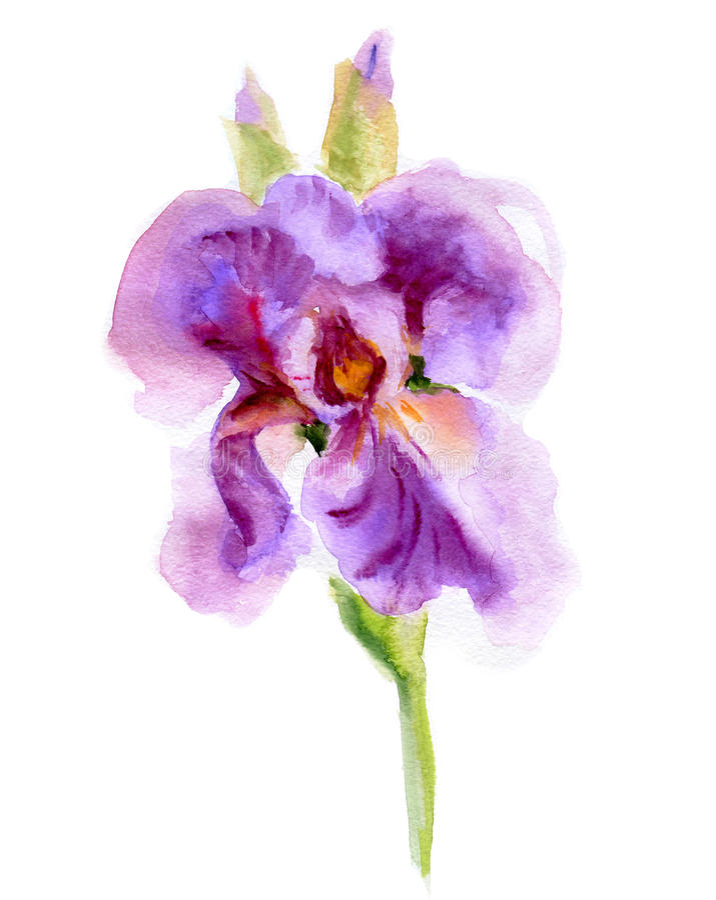 kwiaty iris purpury ilustracji