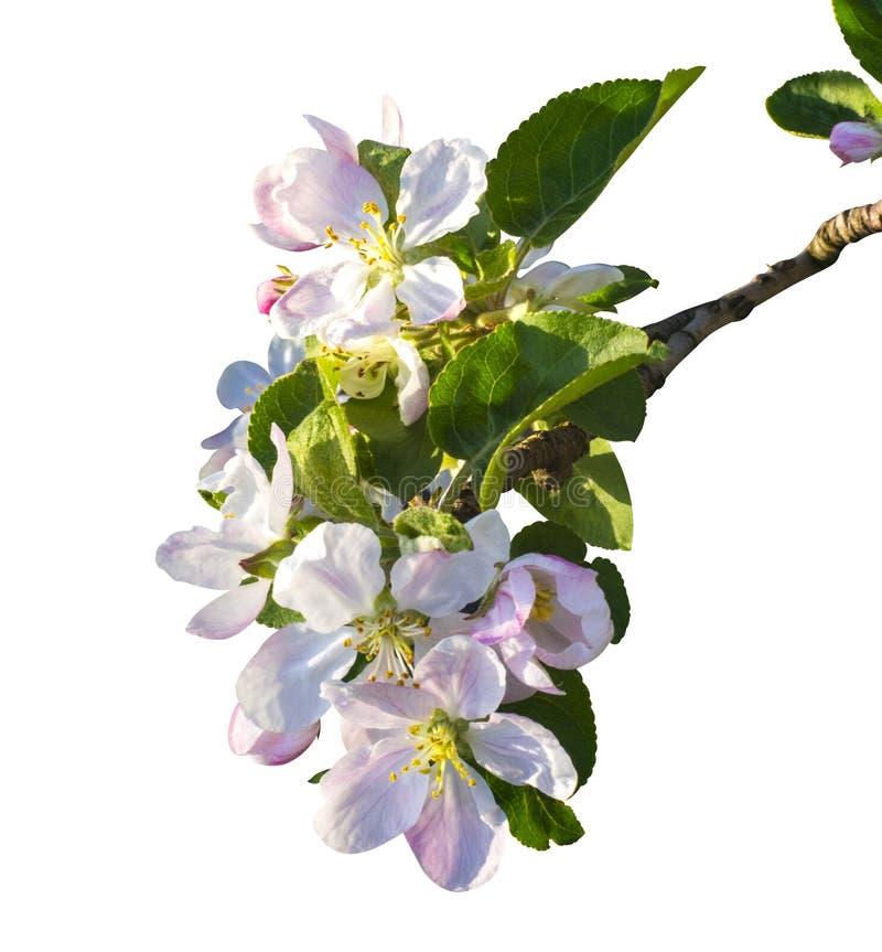 Kwiaty jabłko Set jabłko kwiaty odizolowywający na bielu Apple zdjęcia stock
