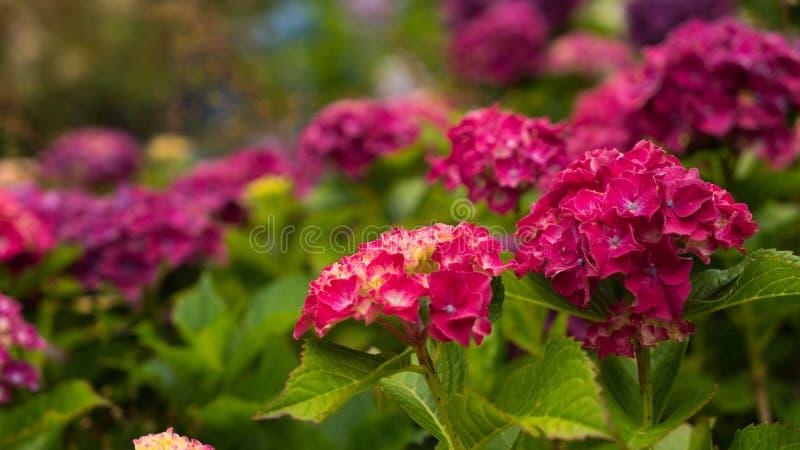 Kwiaty jaskrawa czerwona hortensja na zamazanym tle kwiaty fotografia stock