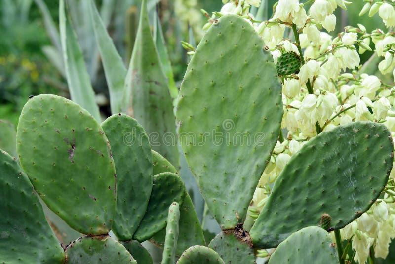kwiaty kaktusa żółty zdjęcia stock