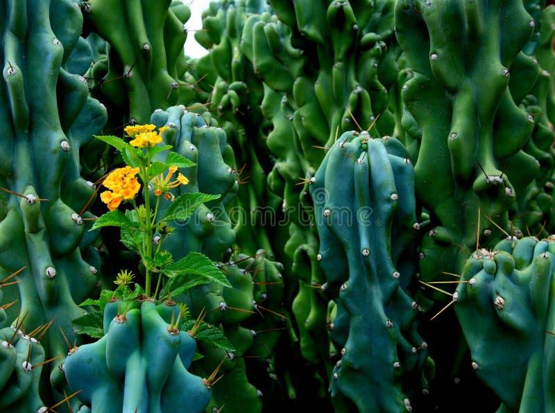 kwiaty kaktusowi kolce zdjęcie royalty free