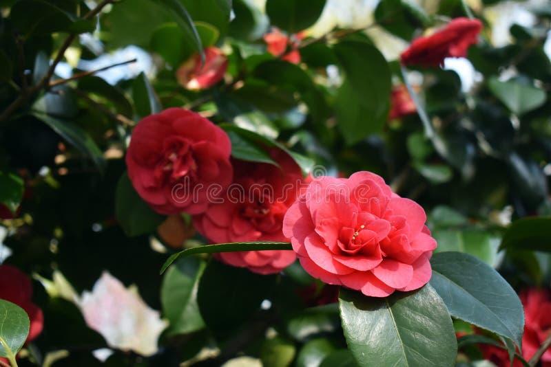 Kwiaty Kameliowy Japonica w ogródzie obrazy stock