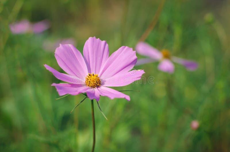 Kwiaty kosmos w flowerbed z zamazanym tłem obrazy stock