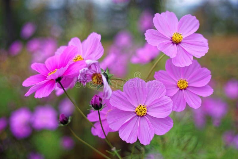 Kwiaty kosmosu światło magenta kwiat w ogrodzie jesień sezon natura tło fotografia royalty free