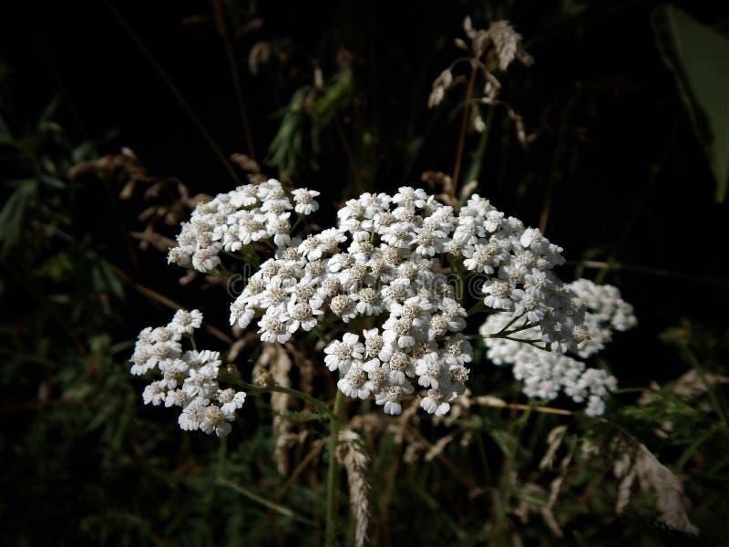 Kwiaty krwawnik - biel w czerni W ogródzie zdjęcia royalty free