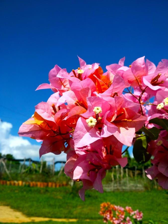 Kwiaty Kuba zdjęcie stock