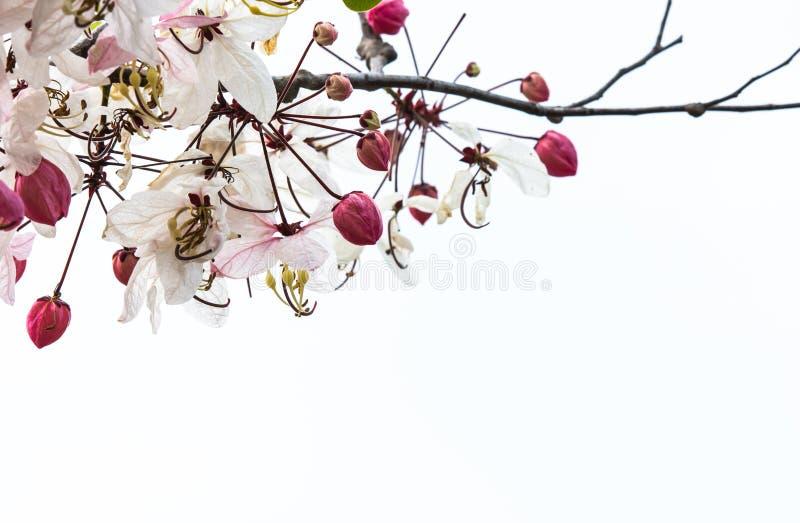 Kwiaty kwitną białego tło fotografia royalty free