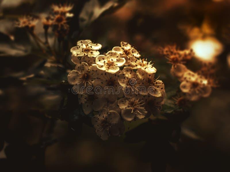 kwiaty kwitnąca wiśnia w świetle słonecznym fotografia stock