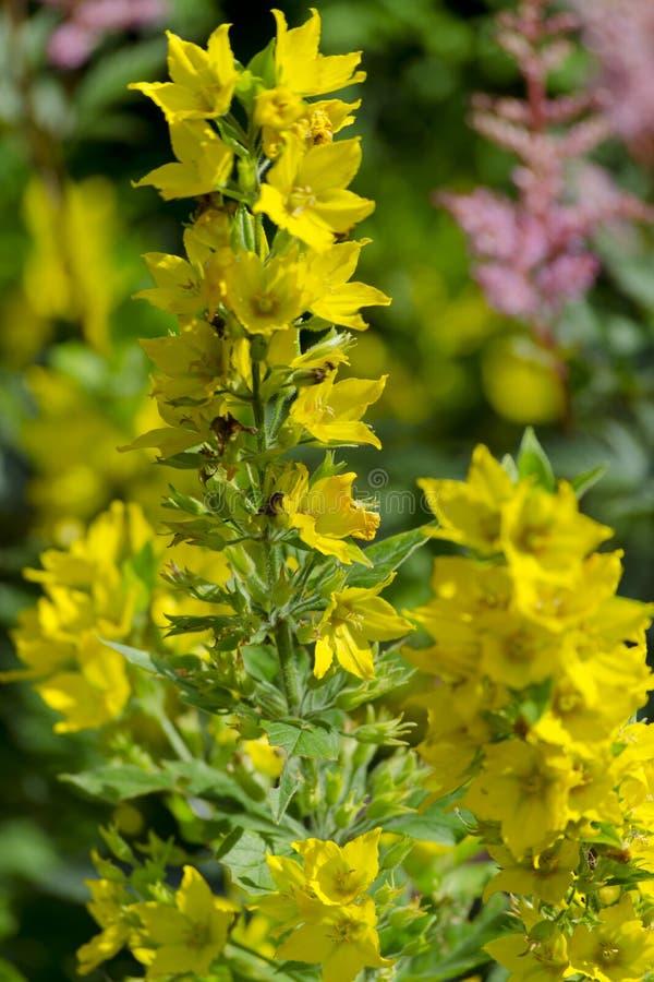 Kwiaty Lysimachia punctata kropkowany loosestrife, wielki ? zdjęcia royalty free