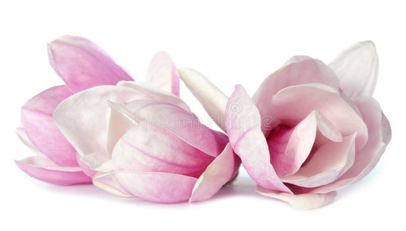 kwiaty magnolii zdjęcia stock
