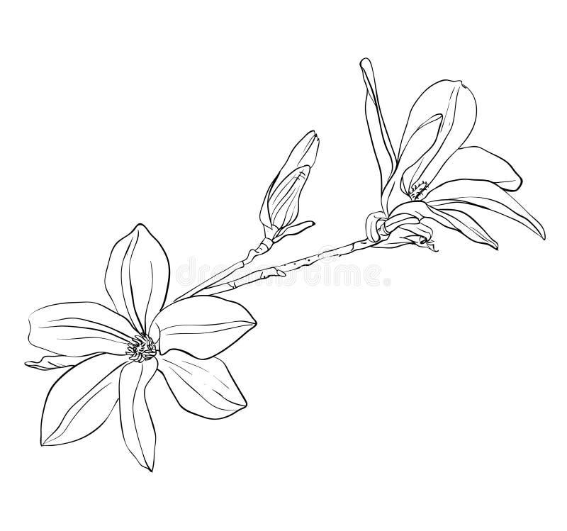 kwiaty magnolii ilustracji
