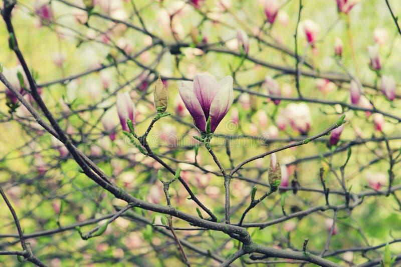 Download Kwiaty magnolii obraz stock. Obraz złożonej z natura - 53781219