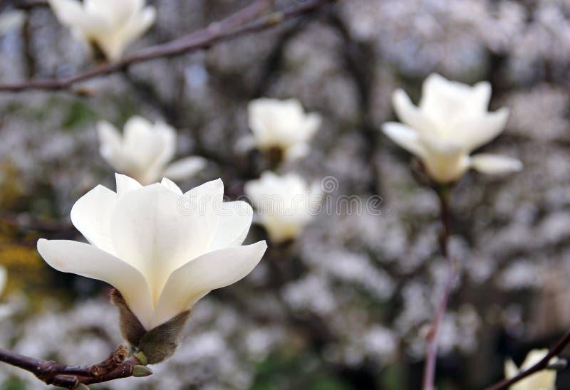 Download Kwiaty magnolii obraz stock. Obraz złożonej z 1, easter - 57674669