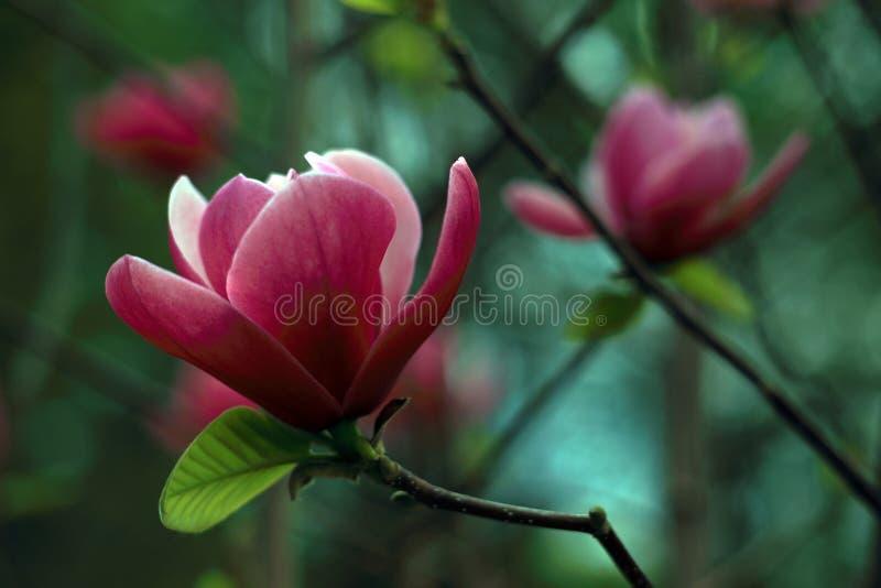 kwiaty magnolii zdjęcie stock