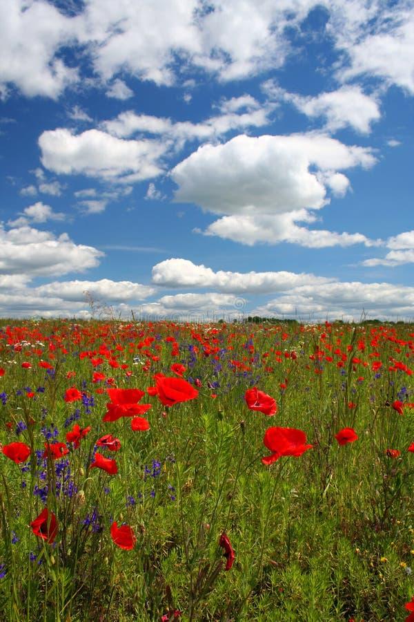 kwiaty makowi chmury zdjęcia royalty free