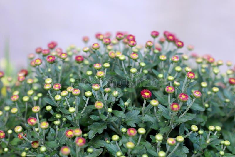 Kwiaty mamuÅ›ne zdjęcia royalty free