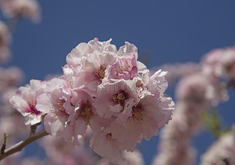 Kwiaty migdałowe na tle niebieskiego nieba zdjęcia stock
