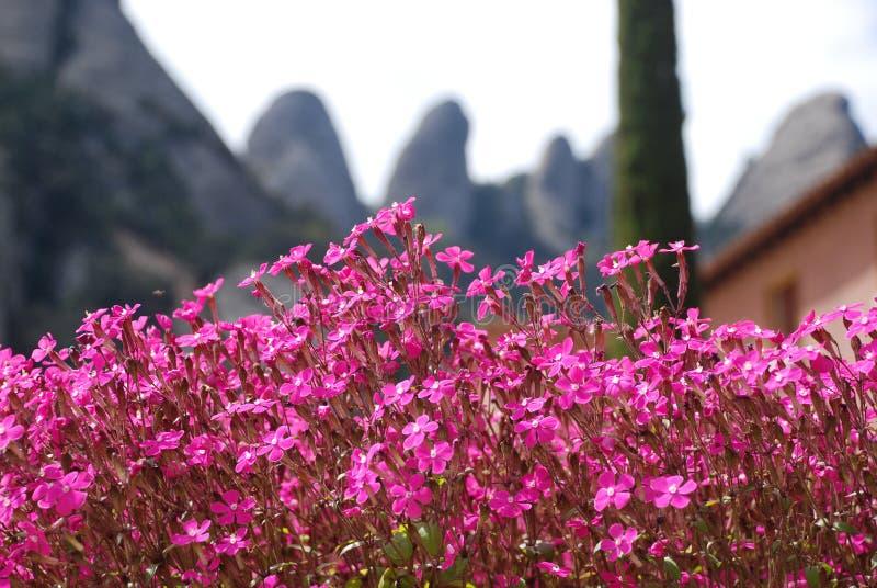 Kwiaty Montserrat zdjęcia stock