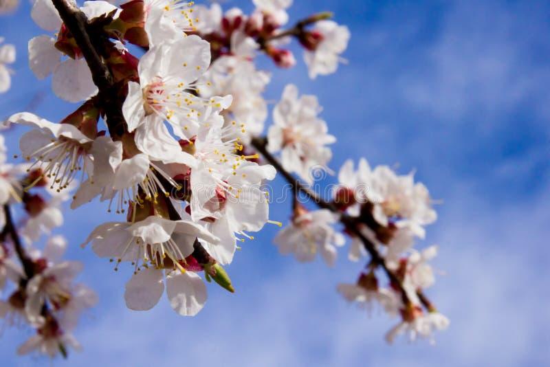 Kwiaty morela na tła niebie zdjęcie stock