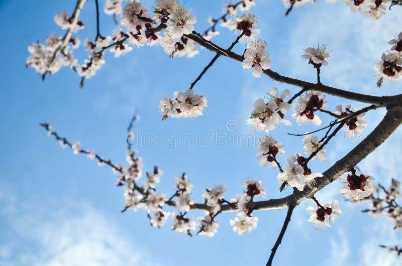 Kwiaty morelowy drzewo przeciw niebieskiemu niebu z chmurami Kwitn?? uprawia ogr obrazy stock