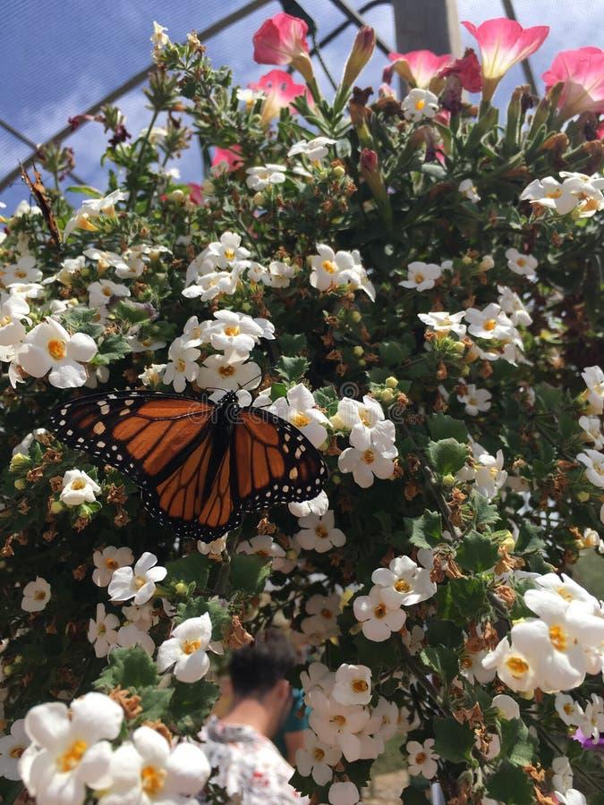 kwiaty motylich monarchiczny white obrazy stock