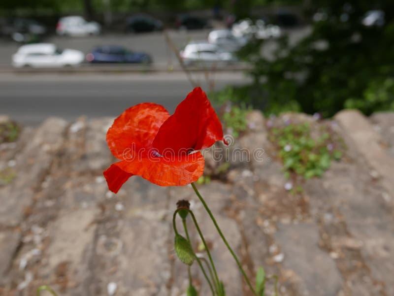 Kwiaty na Aventine wzgórzu, Rzym zdjęcie stock