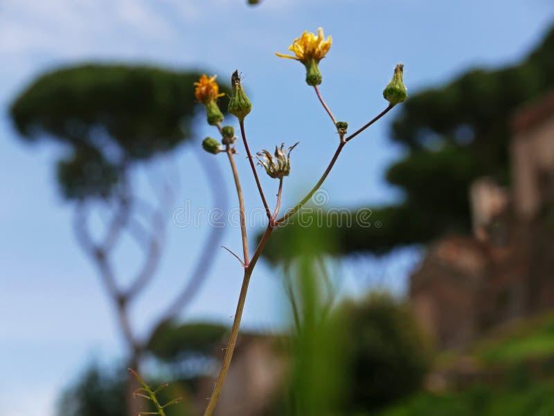 Kwiaty na Aventine wzgórzu, Rzym obrazy stock