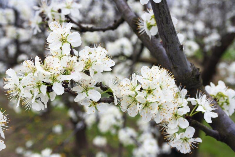 Kwiaty na gałąź owocowego drzewa śliwka zdjęcie royalty free