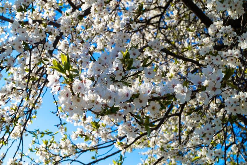 kwiaty na gałąź owocowego drzewa piękny tło zdjęcia royalty free