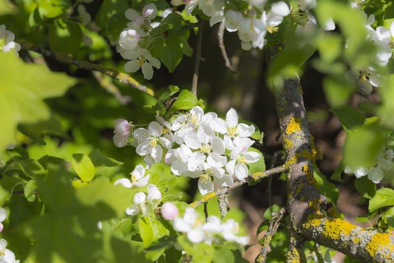 Kwiaty na jabłko gałąź obrazy stock