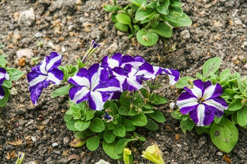Kwiaty na kwiatów łóżkach na bulwarze obraz royalty free