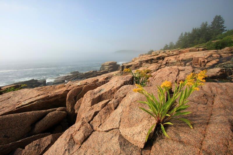 Kwiaty na niewygładzonym wybrzeżu Acadia park narodowy, Maine zdjęcie royalty free