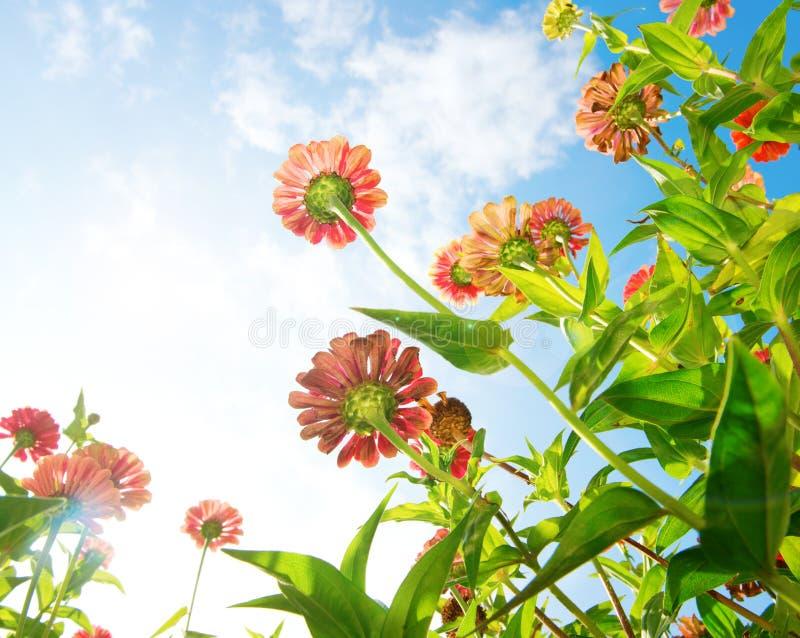 Kwiaty Nad Niebieskim Niebem. Cynia kwiat fotografia stock