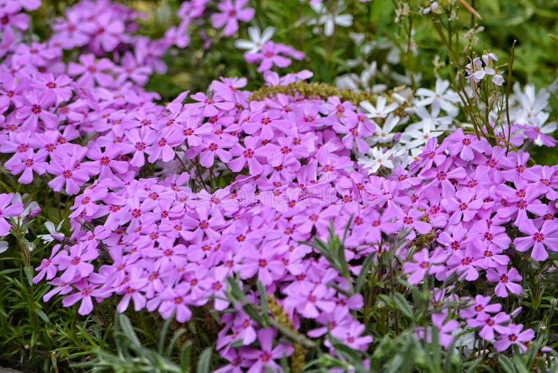 kwiaty ogrodu jednoczącego kolor zdjęcia royalty free