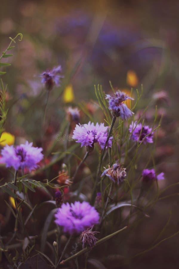 kwiaty ogrodu purpurowy zdjęcia stock