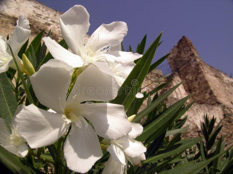 kwiaty oleanderu zdjęcie stock